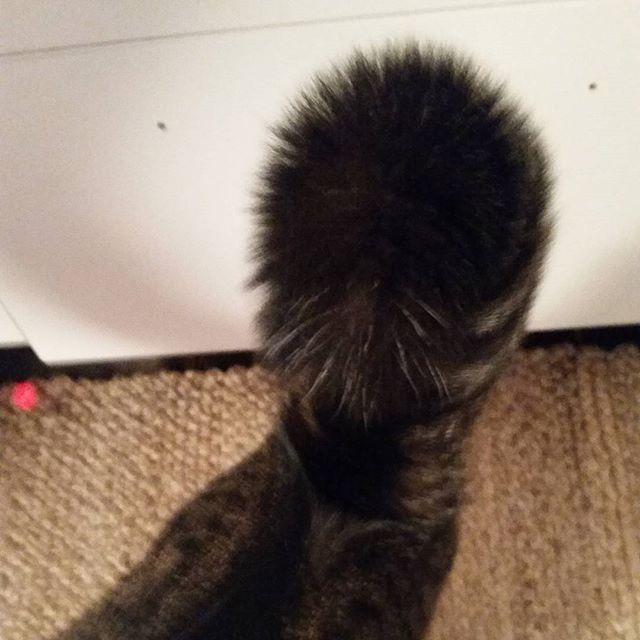 När jag får något riktigt gott att äta blir min svans tre gånger så stor, jag älskar mat! Reagerar er svans på samma sätt?  Happy friyay alla mina coola kattkompisar ❤ /Morris  🐱  #friyay #kattpost #prenumerationsbox #presentbox  #månadsbox #goodiebox  #katt #katter #kattglädje #pälskling #hipsterkatten #katterpåinstagram #katterpåinsta #cat #cats #catsoninstagram #catsoninsta #catsofinstagram #crazycatlady #crazycatwoman #catlover