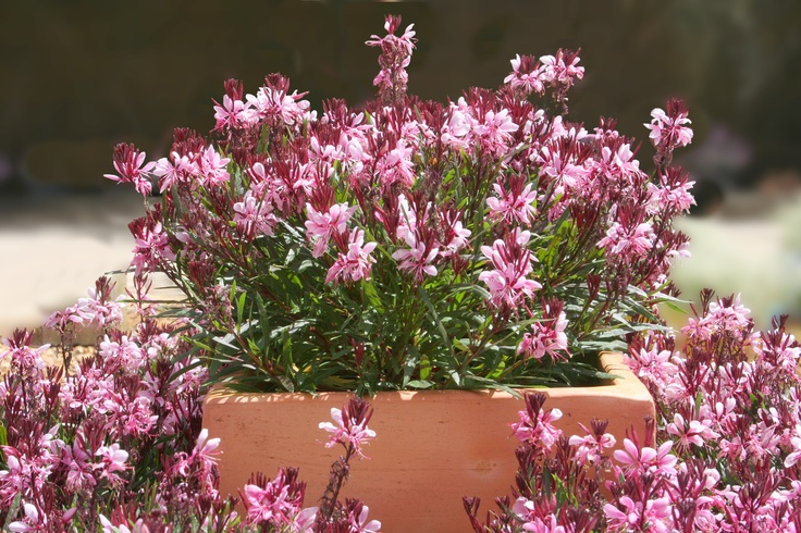 'Lillypop Blush' and 'Lillypop Pink' are Gauras with a compact habit, ideal for planters.