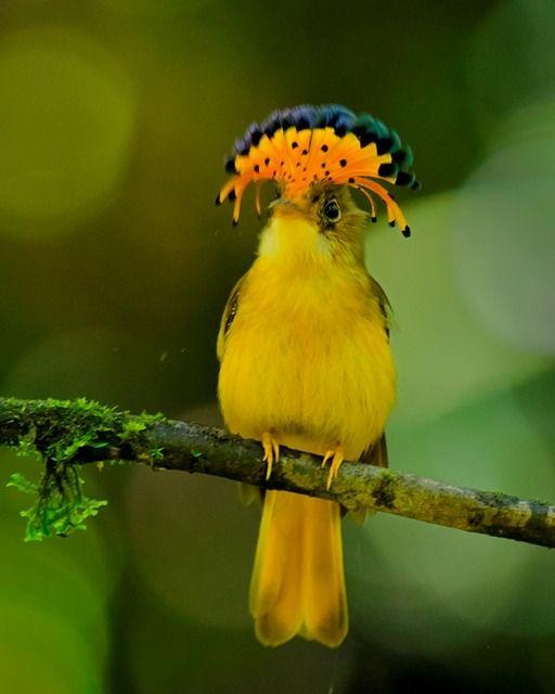 Onychorhynchus swainsoni - Mosquero Real del Atlántico del los bosques del atlántico brasileño (foto por Luiz Ribenboim)