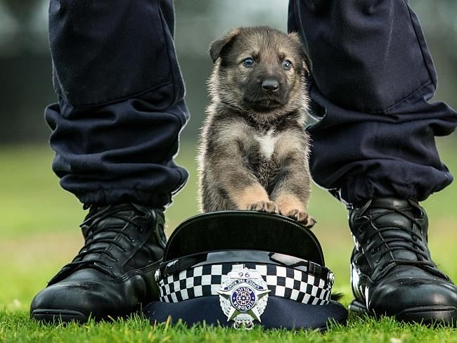 Twelve-week-old GSD-newest recruit to the Victoria Police Dog Squad, Australia.