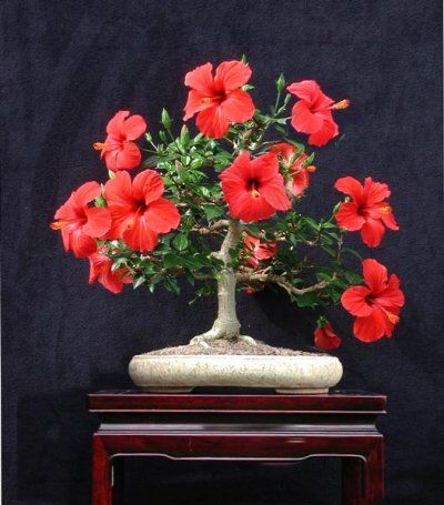 Bonsai - Hibiscus                                                                                                                                                                                 More