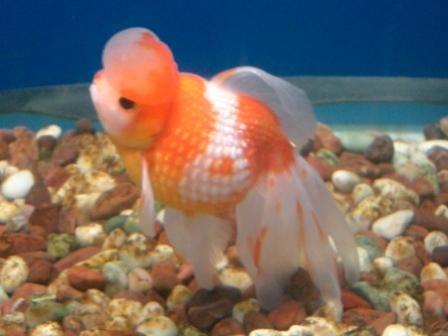 17 Best images about fancy goldfish on Pinterest | Cap d ...