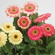 Strawberry Twist Cartwheel Gerbera Plant- An explosion of colors that range from buttery yellow with pink accents to strawberry-red plus every color twist in-between. Totally unique and very beautiful.