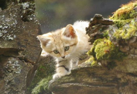 Baby sand cat kitten parken zoo 1 - Sand Cats are endangered species of desert cat from North Africa and the Middle East. Repopulation efforts are ongoing but have failed in Israel thus far.