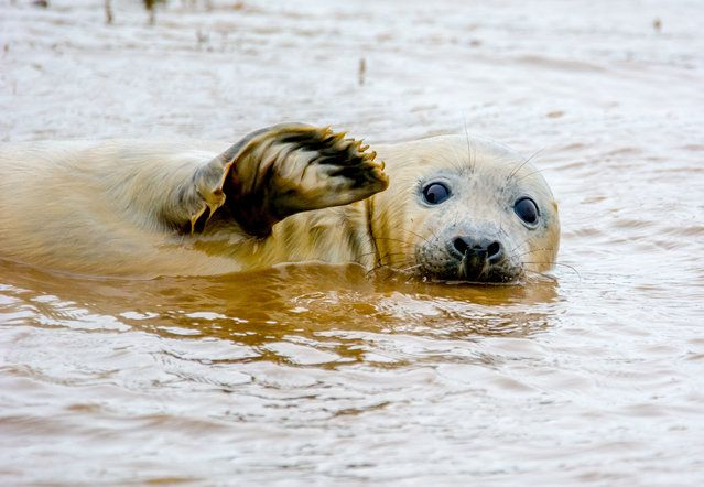 Comedy Wildlife Photo Awards 2016 - Waving Seal
