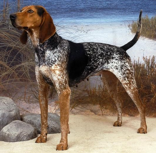 American English coonhound- a Color be Bad pup! I want one!