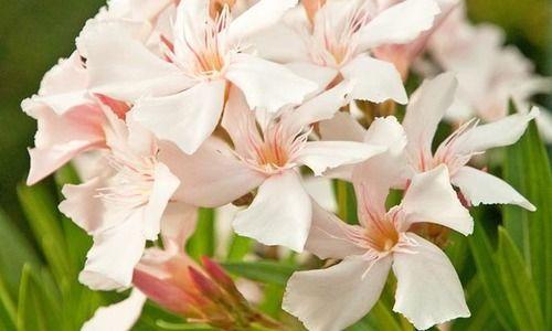 Nerium Oleander 'Alsace', Oleander 'Alsace', 'Alsace' Oleander, Laurier Rose 'Alsace', Rose Bay 'Alsace', Sweet-Scented Oleander 'Alsace', White Oleander, Mediterranean plants, Medit