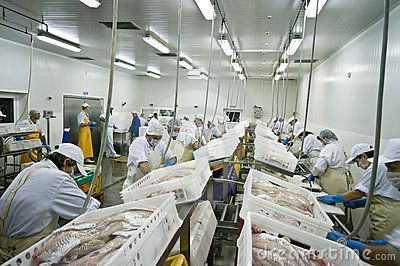 A fish processing factory, aerial view of the hall with people working - cutting fish, preparing fillets. See the whole collection of Fish Processing images.