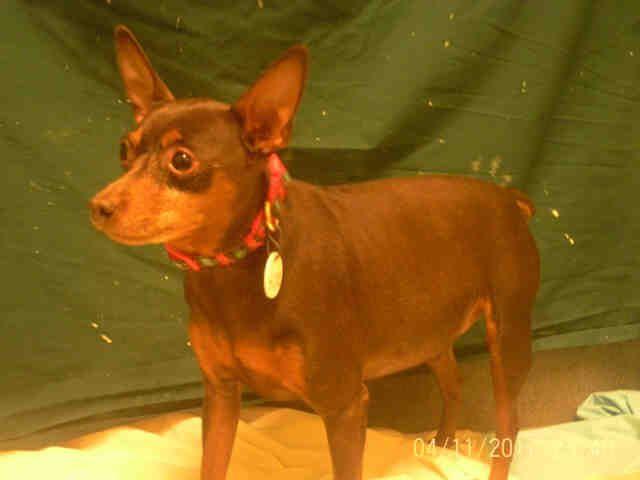 Miniature Pinscher dog for Adoption in Forestville, MD. ADN-520804 on PuppyFinder.com Gender: Male. Age: Senior