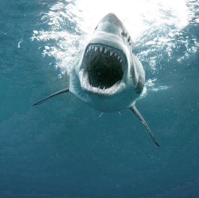Requin blanc en plongeon - whiteshark diving
