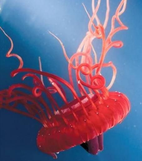 Atolla Wyvillei The Atolla jellyfish (Atolla wyvillei) is a species of deep sea-dwelling crown jellyfish. It is red-brown color.