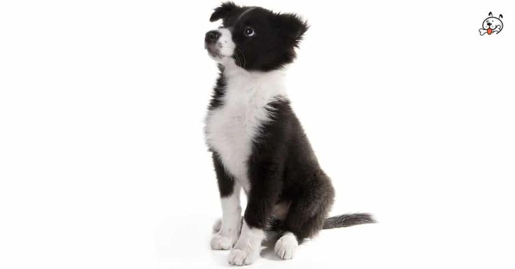 Today let's read about our agile #Border Collie Puppies! Click & read now: http://puppies4all.com/border-collie-puppies-for-sale/  #dog #cute #puppy