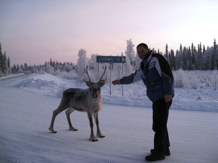 hirvipirtit lapland cabins, Taivalkoski Finland, curious reindeer on the road