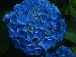 Hydrangea: Flowers Finder, Centerpieces Ideas, Blue Hydrangeas, Gardens Beautiful, Beautiful Blue, Google Search, Beautiful Flowers, Sierra Flowers, Dark Blue