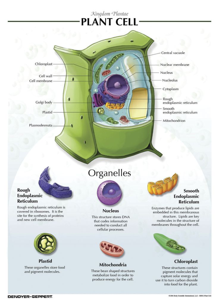 Denoyer-Geppert Plant Cell Chart