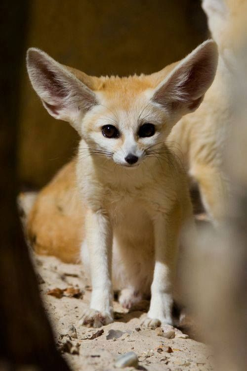 151 best images about fox on pinterest zoos baby - Pagina da colorare fennec fox ...