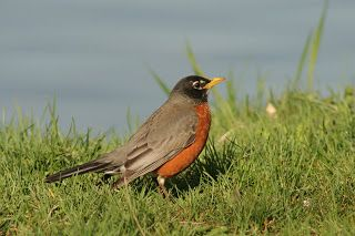 Connecticut Robin