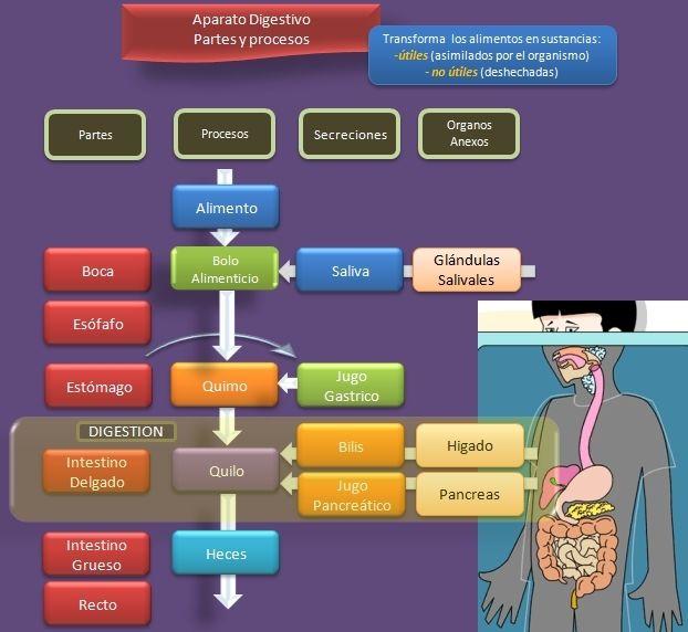esquema-sistema-digestivo-partes-procesos.jpeg (622×572)