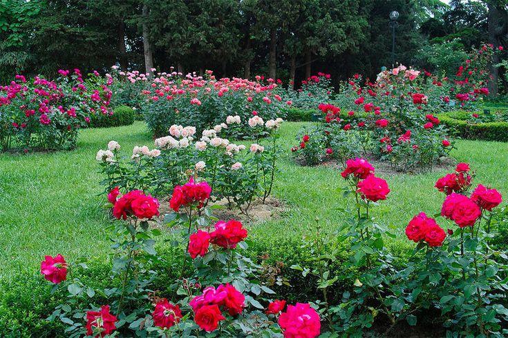 Ах, эти розы! Необычное удобрение для роз - хлебная и травяная закваска