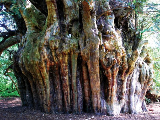 The Ankerwycke Yew is an iconic 2,500 year old yew tree and is steeped in history. According to popular belief it was beneath this tree that King Henry VIII courted Anne Boleyn, and some suggest that he even proposed in its shadow, Old Windsor Road, Surrey More