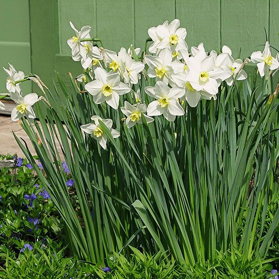 10 Best Narcissus Alcaracensis Images On Pinterest Daffodils Angel S And Thalia