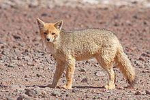 Culpeo/Andean Fox/Culpeo Zorro/Andean Wolf