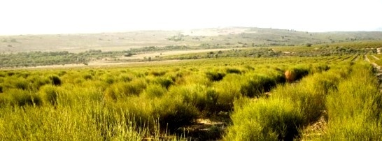 Rooibos Fields
