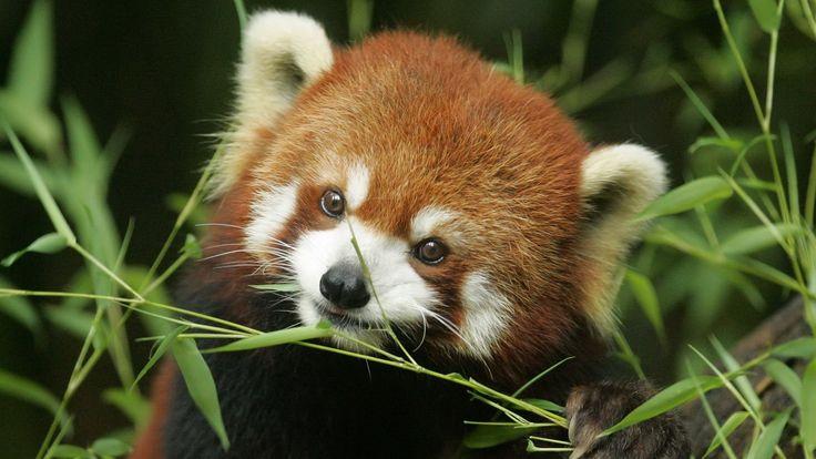les 20 meilleures images propos de panda roux sur pinterest discover best ideas about. Black Bedroom Furniture Sets. Home Design Ideas