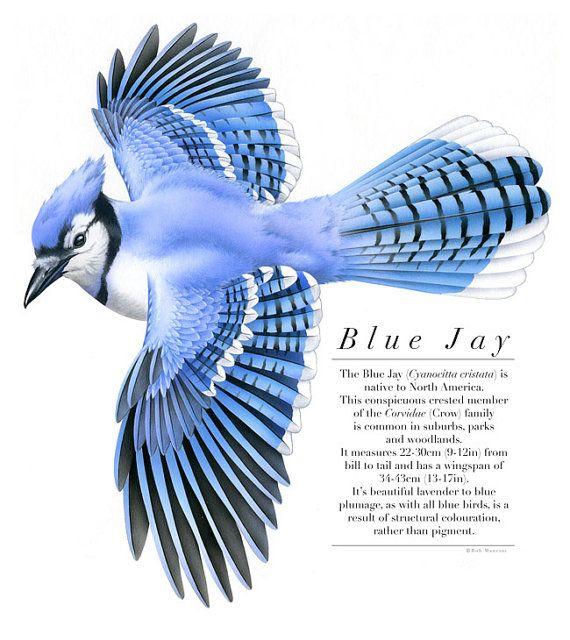 Bird illustration - Blue Jay - bird art, print of original ...