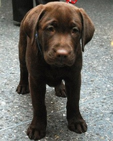 lab - Click image to find more Pets Pinterest pins