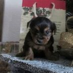 Yorkie Puppies for sale in Maryland From Reputable Yorkie Breeders in Maryland
