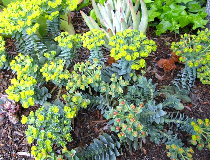 Euphorbia myrsinites looks great as ground cover or in pots.