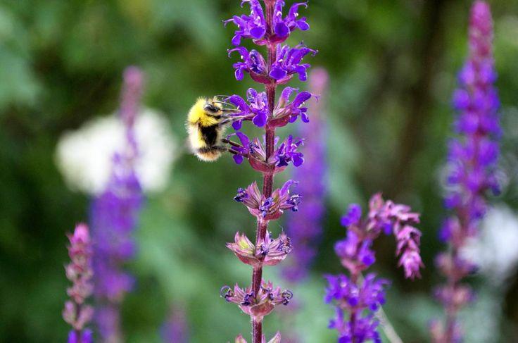 Wildbiene an Gartensalbei. Salbeisorten sind tolle Bienenmagnete