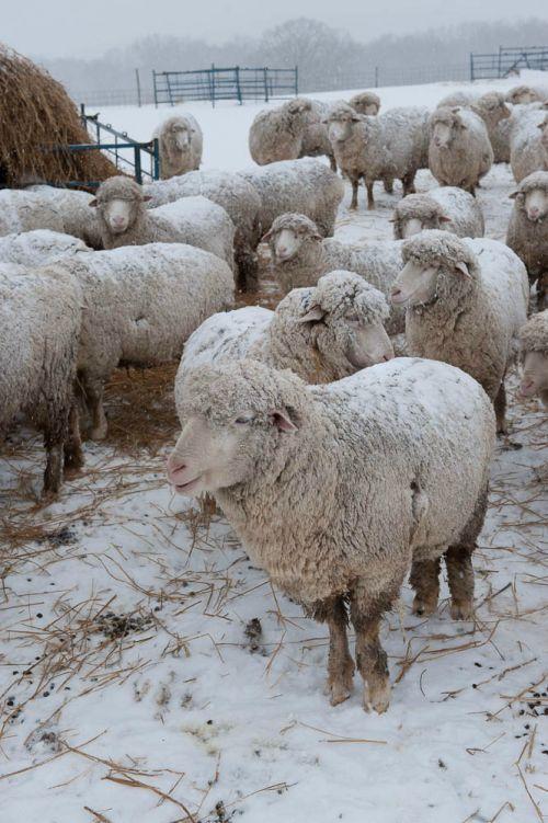 how to build a sheep farm