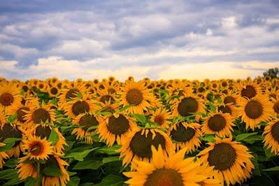 About Sunflowers (Sunflower facts)