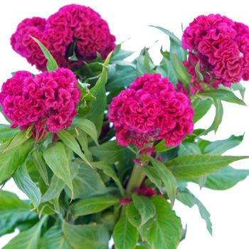 95 best Celosia images on Pinterest Beautiful flowers Celosia