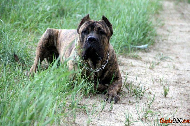 Cão da raça Cane Corso provocante