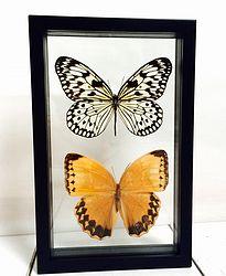 Vlinders in lijst Idea Ieuconoe, Stichoptalma. In deze lijst met dubbel glas zitten twee grote vlinders. De Idea Ieuconoe en de Stichoptalma Howqua. De rijstpapiervlinder en de Howqua zijn met een spanwijdte van meer dan 13 cm grote vlinders.