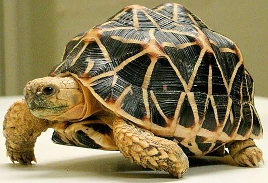 Indian Star #Tortoise.