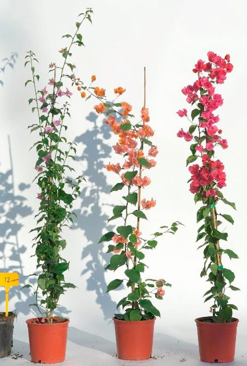 HOW TAKE CUTTINGS FROM BOUGAINVILLEA |The Garden of Eaden