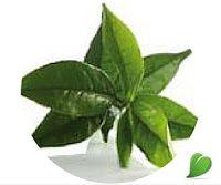 Té verde: Este Té es el Té verde no fermentado conservando teína, cafeína, catequinas y taninos. Aportando un poder diurético y quemador de grasas
