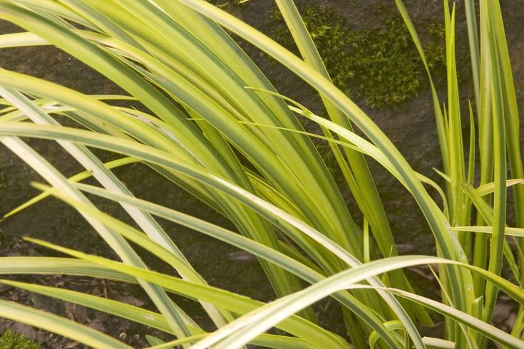 1000 images about variegated plants on pinterest for Variegated grass plant
