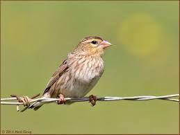red bishop birds kzn - Google Search