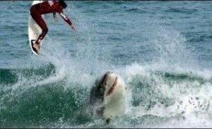 Μάχη για τη ζωή δίνει σέρφερ, έπειτα από την επίθεση που δέχτηκε από καρχαρία. Απίστευτο και, όμως, αληθινό. Ο Αυστραλός άνδρας έκανε σερφ ανέμελος σε κολπίσκο 245 χιλιόμετρα δυτικά της Αδελαΐδας, όταν ο καρχαρίας του επιτέθηκε και του αφαίρεσε ένα από τα κάτω άκρα. «Παρευρισκόμενοι είδαν τον καρχαρία να απομακρύνεται με το πόδι στο στόμα» […]