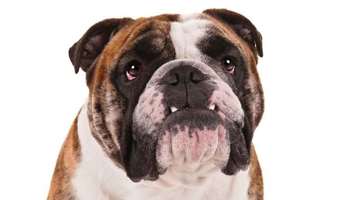17 best images about dog bulldog on pinterest english animals and puppys. Black Bedroom Furniture Sets. Home Design Ideas
