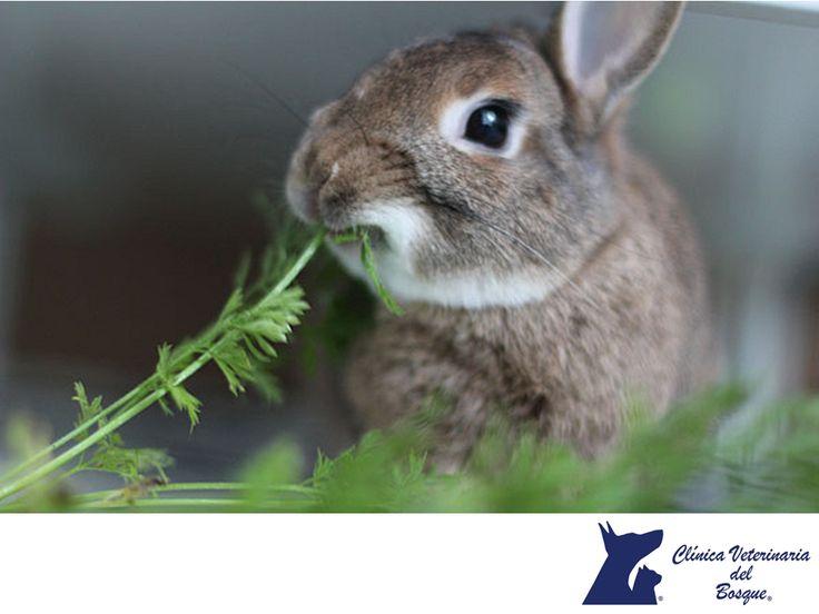 LA MEJOR CLÍNICA VETERINARIA DE MÉXICO. Un conejo al día debe comer 150 gramos mínimo de heno más 100 gramos de verduras por kilo de peso y 30 gramos de pienso por kilo de peso. Si tu conejo no come pienso, deberás subir la cantidad de heno y verdura. En Clínica Veterinaria del Bosque te invitamos a visitar nuestra página web www.veterinariadelbosque.com, para conocer todos nuestros servicios y cuidar a tu mascota.  #veterinaria