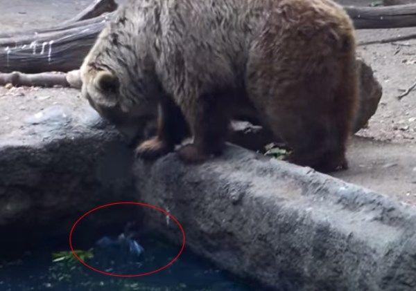 Neskutečné! Topící vránu zachrání medvěd