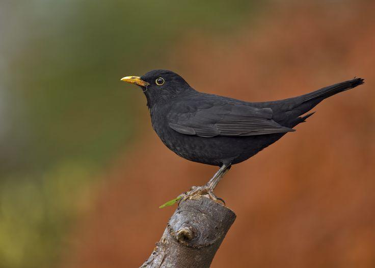 how to catch common blackbird
