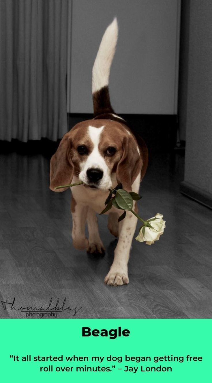 Beagle Dog Beagledog Beagles Puppy Beagle Puppy Beagle Dog I