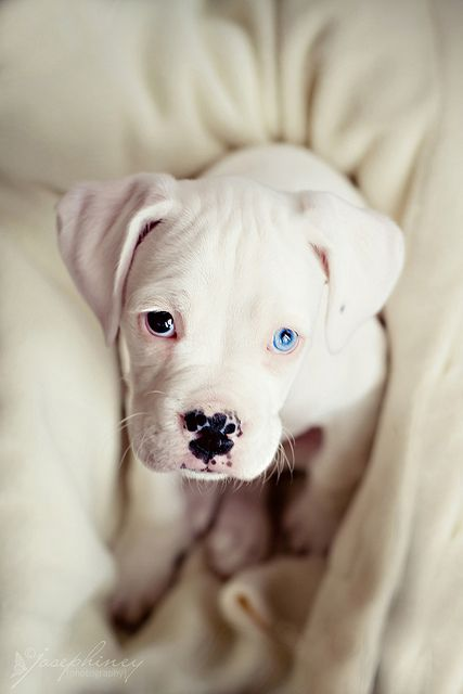 Photography of a puppy taken from an interesting above viewpoint | #Above #Puppy #Dog #Pet #Photography #Animal #Canine #Viewpoint #Photography #Eyes #Colour #White